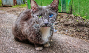 Starving Cat Covered in Dirt and Fleas Rescued From the Streets Has the Most Gorgeous Eyes