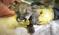 Badly Burned Mountain Lion Cub Rescued From Zogg Wildfire, Treated at Oakland Zoo