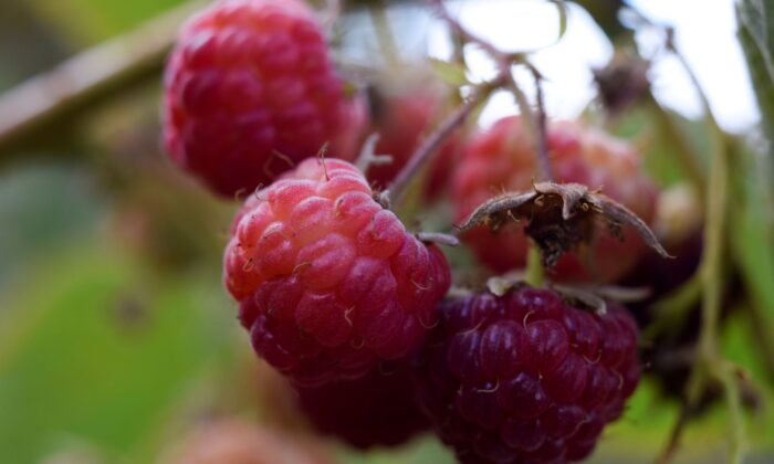 Raspberries are pictured during a harvest season at a local farm near Chillan, Chile March 13, 2020. Picture taken March 13, 2020. (REUTERS/Jose Luis Saavedra)