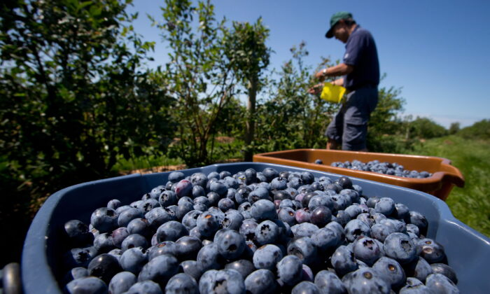 Howard Shimokura picks blueberries at Emma Lea Farms in Ladner, B.C., on July 21, 2014. (THE CANADIAN PRESS/Darryl Dyck)