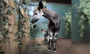 Adorable Baby Okapi Born at London Zoo During Lockdown Takes 'First Wobbly Steps'
