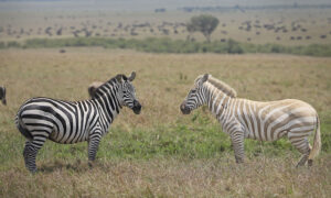 Couple on Safari Capture Photos of Extremely Rare White Zebra Grazing in African Savanna