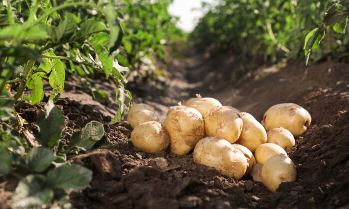 Potatoes can deliver key nutrients in relatively few calories, which is essential for people with Type 2 diabetes. (New Africa/Shutterstock)