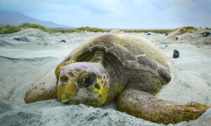 Sea Turtles Are Thriving All Over the World Thanks to Coronavirus Lockdowns