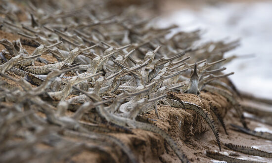 Stunning Photos Show Hundreds of Endangered Baby Crocodiles Lining Up Like Soldiers on Riverbank in India