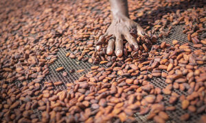 Ivory Coast Police Rescue 11 Children Working on Cocoa Farms Suspected of Human Trafficking