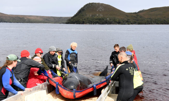 Rescue teams work to save a Pilot Whale at Macquarie Harbour in Strahan, Tasmania, Australia on Sept. 24, 2020. (Steve Bell/Getty Images)