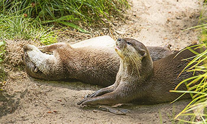 (Courtesy of Cornish Seal Sanctuary)
