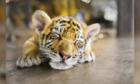 Couple Buy a 'Savannah Cat' for $7,000, but It Turns Out to Be a Sumatran Tiger Cub