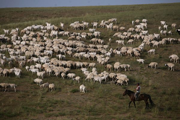 A herdsman pastures sheep in Xilinhot of Inner Mongolia Autonomous Region, China, on Aug. 8, 2006. Xilinhot, located in the middle of Xilin Gol Grassland, one of China's largest prairies, is the economic and cultural center of Xilin Gol League, a livestock production base in northern China. As the Xilin Gol Grassland has suffered severe sand-encroachment and desertification, the government has implemented a project to save grassland, which encloses grazing land and relocates herdsmen and livestock from the prairie, according to state media. (China Photos/Getty Images)
