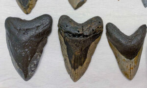 Woman Diver Hits Jackpot, Finds Megalodon Shark Teeth Up to 15 Million Years