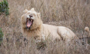 Wildlife Photographer Captures an Extremely Rare Sight of a White Lion in the Wild on Camera
