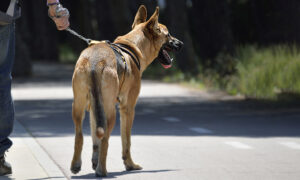 Abandoned Dog Found Tied to a Tree Rescued, Now Training to Be a K9 Search & Rescuer