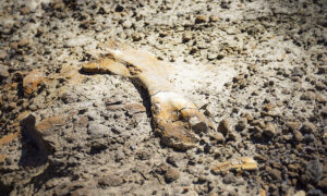 12-Year-Old Stumbles on 69-Million-Year-Old Duck-Billed Dinosaur Fossil in Canada Badlands