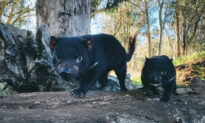 Tasmanian Devils Reintroduced to Mainland Australia After 3,000-Year Absence