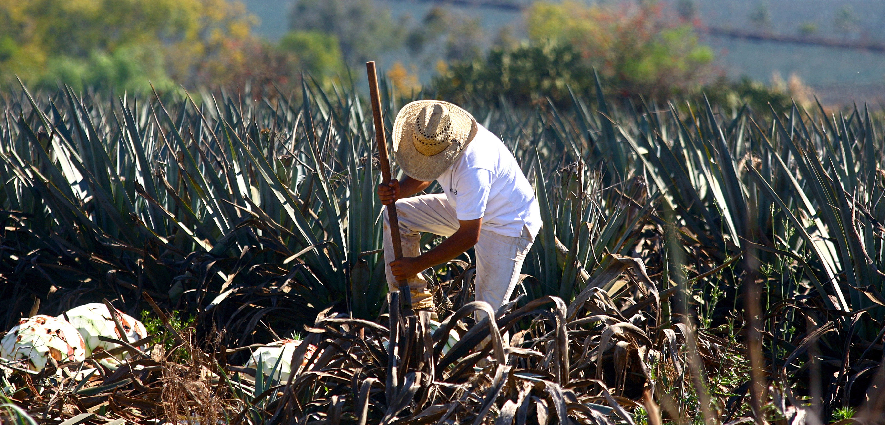 A farmer harvests a blue agave plant for