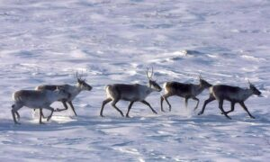 Canada, Alberta Sign Deal on Protecting Caribou