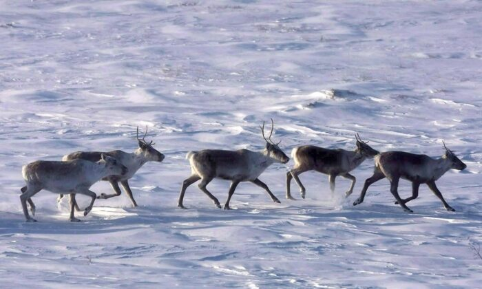 Wild caribou roam the tundra in Nunavut in a file photo. (The Canadian Press/Nathan Denette)