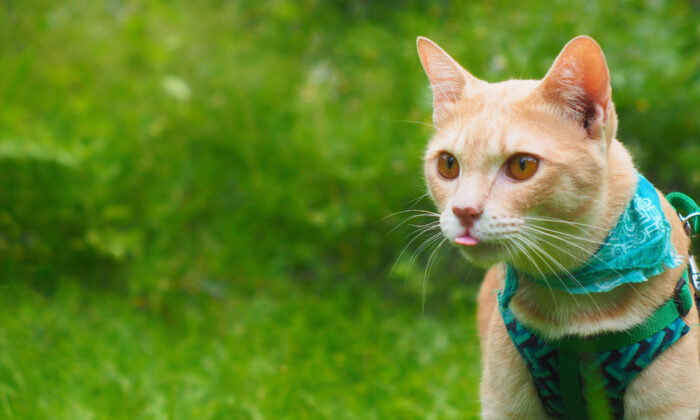 One way to ensure safe outings for your cat is to fit it with a harness. (RJ22/Shutterstock)