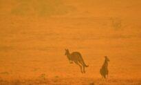 Push for Ban on Hunting Kangaroos in NSW