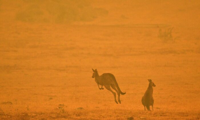 A kangaroo jumps in a field amidst smoke from a bushfire in Snowy Valley on the outskirts of Cooma on January 4, 2020. (SAEED KHAN/Getty Images)