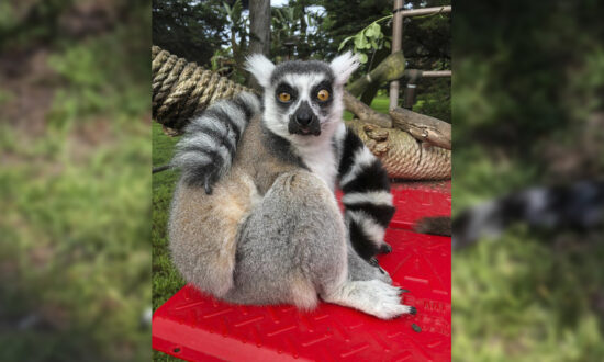 Boy, 5, Spots Endangered Lemur in School Playground After It Went Missing From Zoo