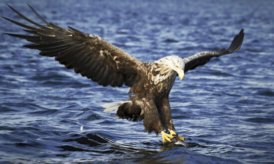 UK Birdwatcher Sights Nearly Extinct White-Tailed Eagle for First Time in Over 100 Years