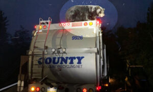Sanitation Workers Discover Live Black Bear Riding on Garbage Truck in Search of Grub