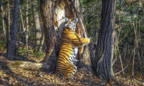 Stunning Image of Tigress Hugging a Tree Wins Wildlife Photographer of the Year 2020