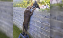 Dog Next Door Visits New Neighbors Over the Fence With the Help of Stepping Stool