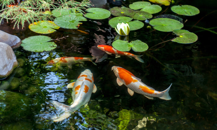To keep fish healthy in your pond, provide them with a healthy environment in where they can live and thrive. (Vital Safo/Shutterstock)