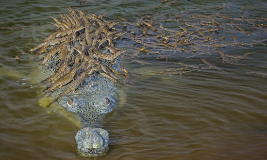 Photo of Father Crocodile Carrying Over 100 Baby Crocs on His Back Is a Really Great Sign