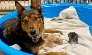 Rescued Dog 'Adopts' Orphaned Kittens After Losing Her Premature Puppies
