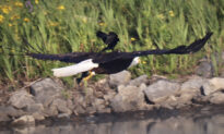 Photographer Captures Red-Winged Blackbird Riding on Bald Eagle's Back