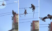 Heart-Stopping Video: Monkey Risks Its Life to Save Her Baby Trapped on Powerlines