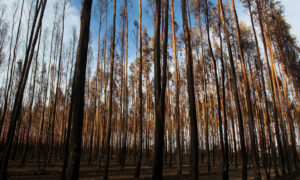 Beijing Targets Timber and Barley as Bullying Tactics Continue Against Australia