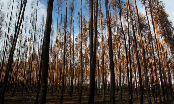 Blue gum forestry west of Parndana, Australia, on Feb. 23, 2020. (Lisa Maree Williams/Getty Images)