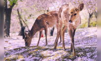 Photographer Captures Video of Japanese 'Bowing' Deer in Surreal Cherry Blossom Scenery