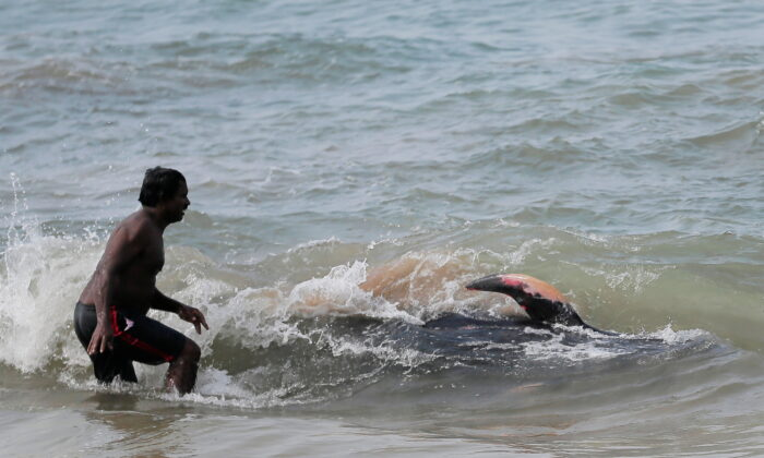 A villager tries to push a pilot whale after being stranded on a beach in Panadura, Sri Lanka, on Nov. 3, 2020. (Dinuka Liyanawatte/Reuters)