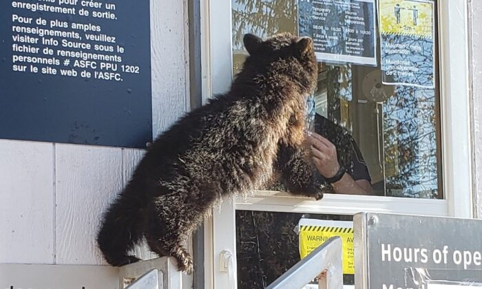 The bear cub at border crossing between Stewart, B.C. and Hyder, Alaska on Nov. 4 (Canadian Border Services Agency)