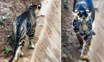 Extremely Rare 'Black' Tiger Caught on Camera, Only Six Exist in the Wild