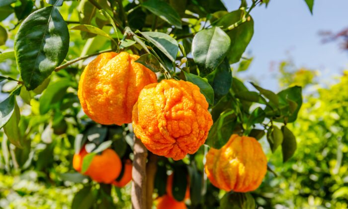 Bitter orange (Citrus aurantium) essential oil is popular for its ability to address anxiety and sleep difficulties. (nnattalli/Shutterstock)