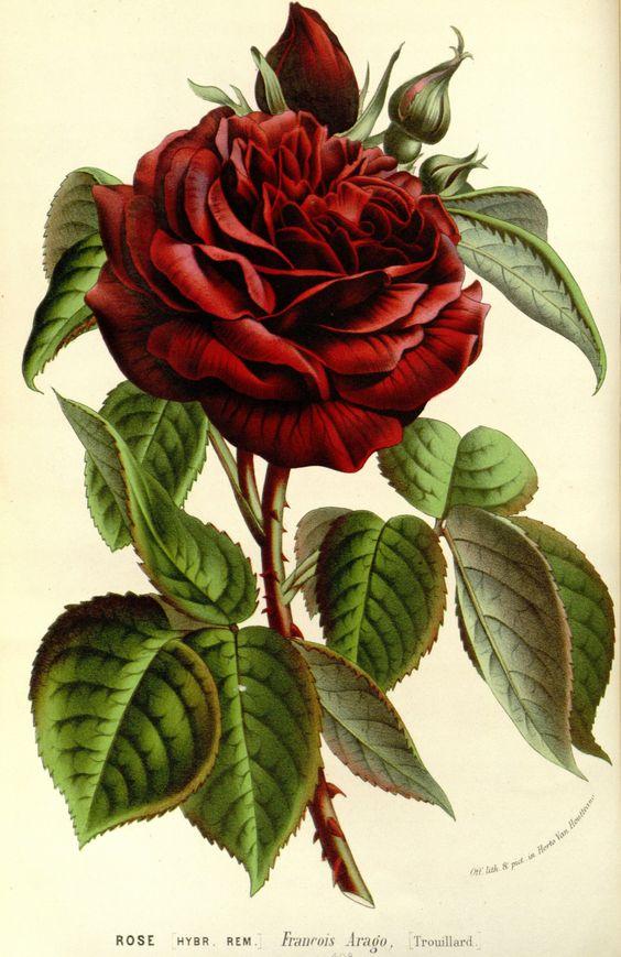 Ludwig van Houtte rose