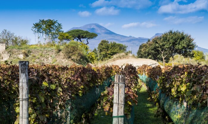 Vineyards in the ruins of Pompeii, backdropped by Mount Vesuvius. (Shutterstock)