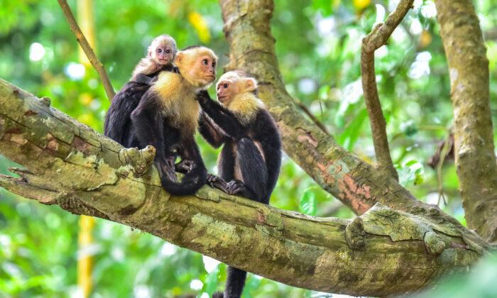 Capuchin monkeys. (Simon Dannhauer/Shutterstock)
