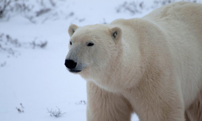 A young male polar bear waits for the sea ice to return in the Churchill Wildlife Management Area, in Manitoba, on Oct. 27, 2020. (Gloria Dickie/Reuters)