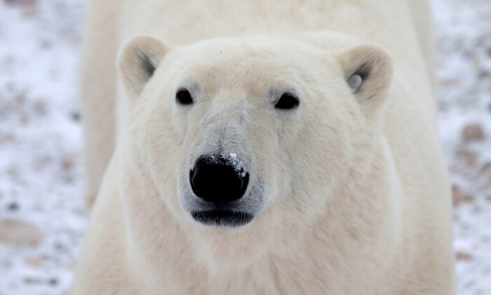 A young male polar bear waits for the sea ice to return in the Churchill Wildlife Management Area, Manitoba, October 27, 2020.  (Reuters/Gloria Dickie)