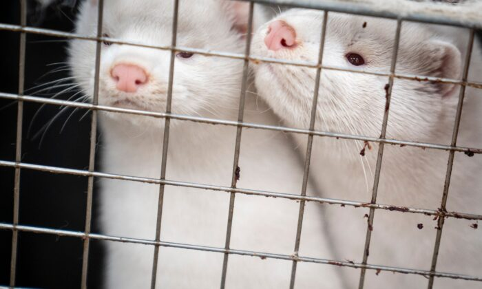 Mink look out from their cage at the farm of Henrik Nordgaard Hansen and Ann-Mona Kulsoe Larsen as they have to kill off their herd, which consists of 3,000 mother mink and their cubs on their farm near Naestved, Denmark, on Nov. 6, 2020. (Mads Claus Rasmussen/Ritzau Scanpix/AFP via Getty Images)