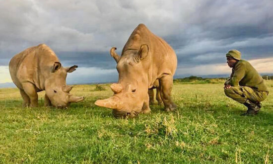 The World's Last Two Northern White Rhinos Need 24-Hour Armed Guards