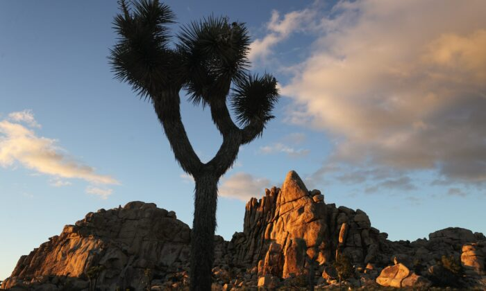 A Joshua tree stands in Joshua Tree National Park in Joshua Tree National Park, Calif., on May 18, 2020. (Mario Tama/Getty Images)